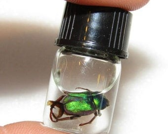 Real Tiny Green Beetle Preserved in Glass Vial Wet Specimen Taxidermy Entomology Insect Bug