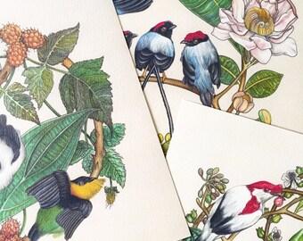 Manakin Bird Giclee Watercolor Prints Square