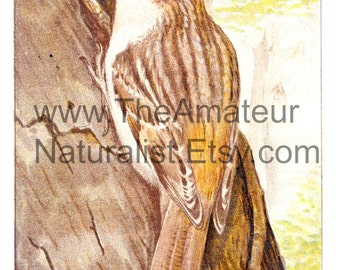 Vintage Bird Illustration, Brown Creeper, Antique Print, Digital Download