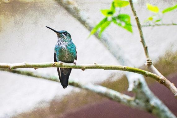 Hummingbird Sitting on a Branch. Unframed Wall Decor.  Nature Photography. Fine Art Print by OneFrameStories.