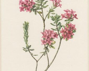 1960 Vintage Botanical Print, Daphne cneorum, Garland Flower, Rose Daphne, Botany Illustration, Home Wall Decor, Seidelblast, Floral Art