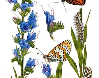 Echium Vulgare and Melitaea Didyma, ORIGINAL watercolor painting, botanical art, botanical painting, lily, blue, esperoart