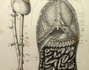 1852 Antique human anatomy circulatory respiratory digestive system print, vintage heart lungs intestine engraving,human body plate.
