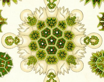 Algae Drawing, Green Algae, Green Drawing, Haeckel Drawing, Algae Green, Drawing Green, Ernst Haeckel, Haeckel Ernst, Scientific Drawing
