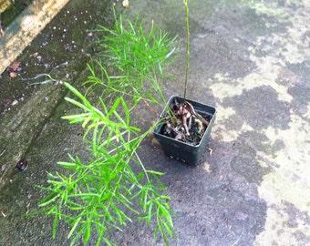 Asparagus Fern- live plant