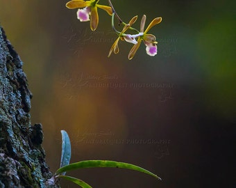 Florida Butterfly Orchid