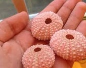 "Bulk Supplies 10 Pink Sea Urchins 1""-2""  Bulk Beach Coastal Weddings Decor and Supplies for Floral and Photo Prop Accessories"