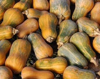 Squash Honeynut - 10 Seeds - Cucurbita moschata