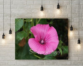 Flower Stock Photos / Lavatera  Photography /  Pink Lavatera with dew drops photography