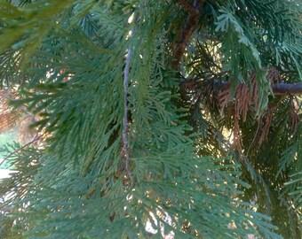 Sacred Cedar Chemical Free Cultivated