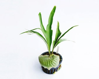 "Rare Staghorn Fern Platycerium "" Dawboy "" by Joinflower Joinfolia"