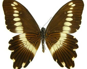 Supplies for your artworks - dried insects - : 10pcs x  papilio gallienus , papilio ,UNMOUNTED A1 quality,  FREE SHIPPING