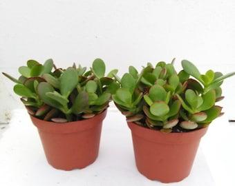 "Two Jade Plant Crassula Ovuta - Easy to Grow - 4"" Pot (FREE SHIPPING!)"