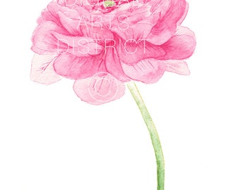 Printable Botanical Pink Ranunculus Watercolor Instant Download