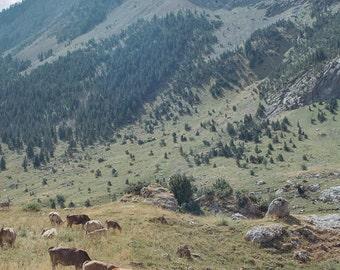 Spain // Pyrenees Cows