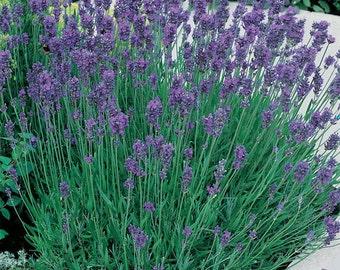 Lavender 'Munstead' - 1 Gallon