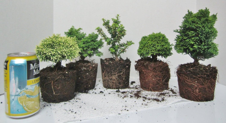 Lotto di 5 pre bonsai nano cipresso di hinoki chamaecyparis for Cipresso nano