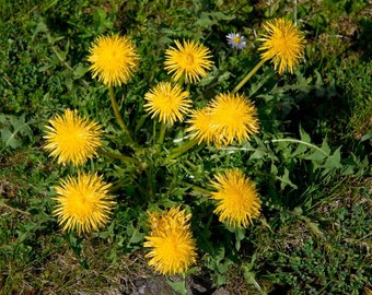 Dandelion - Edible Detoxifying Herb - Salad Greens - 25 Organic Seeds