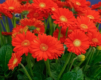 Gerbera Daisy Seeds - HARVEST ORANGE -Attracts Butterflies,Hummingbirds-10 Seeds