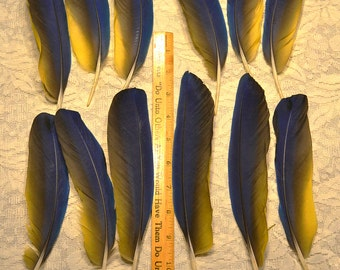 Blue and Gold Parrot Feathers