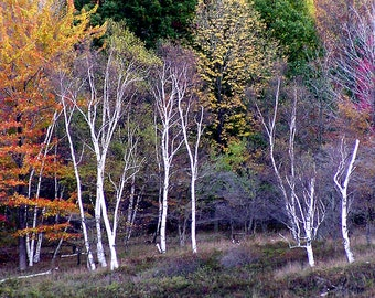 Fall trees, white birch, autumn colors