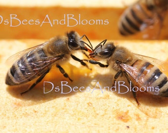 "Honey Bee Photograph ""Sweet Sisters"""