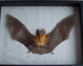 Hipposideros larvatus real framed bat