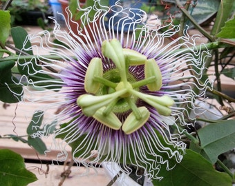 Passiflora Edulis Golden Giant Vine 10 Seeds, Perennial Passion Fruit Garden Climber Plants