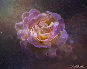 Stardust Rose Fine Art Photography Print