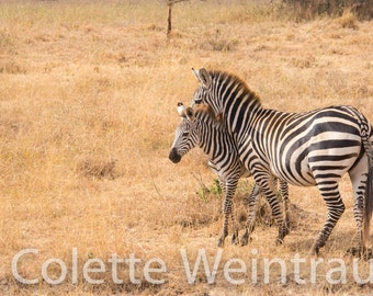 Mother Zebra with her foal in Kenya, Africa. Canvas Print.