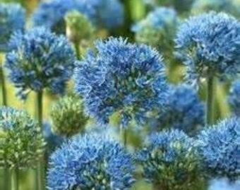 18 Azureum Allium Bulbs  - Fall Shipping