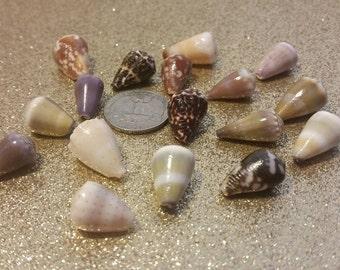 Big lot of mix cone shells