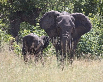 Elephants, South Africa - digital download