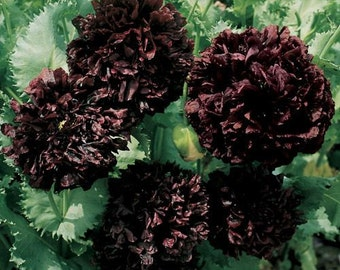 Black Peony Poppy Flower Seeds/Papaver/Annual   100+