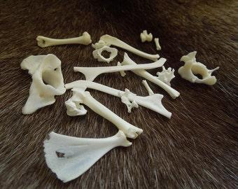 Guinea pig bones