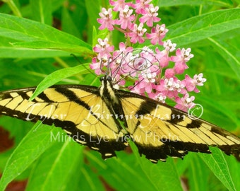 Live Butterfly Insect Eastern Tiger Swallowtail Fine Art Nature Real Live Butterfly Wall Art Decor Photography Print FREE Domestic SHIPPING