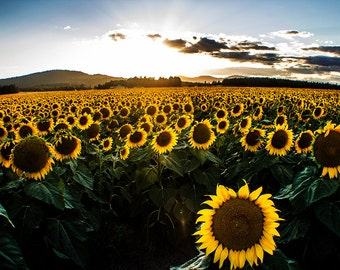 Humble Vibrance - Sunflower Field