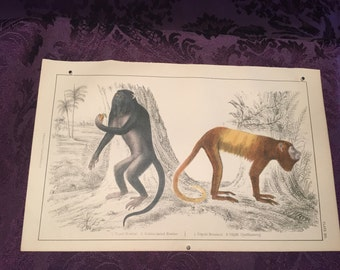Hand colored engraving - Royal Howler & Golden-Tailed Howler Monkey