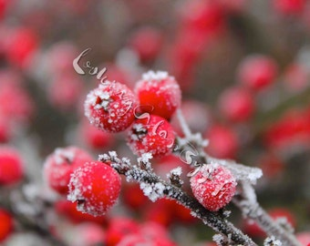 Frost Covered Berries Digital Photography, Winter, Colour, Berries, Tree, Natural World, Nature, Foliage