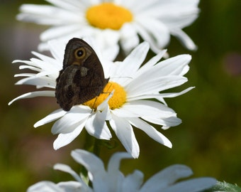 Daisy & Butterfly Photo, Macro Photography, Flower Photo, White Yellow and Black, Spring Flowers, Wall Art, Cottage Decor, Home Decor