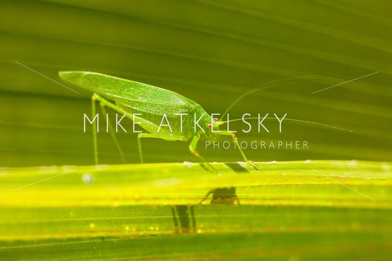 Giant Katydid Long Legged Green Leaf Grass by ...