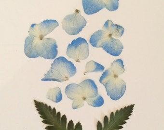 Blue Hydrangea and Greenery