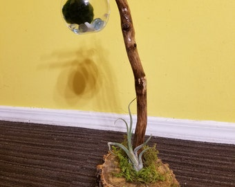 A tranquil zen centerpiece that contains a Marimo moss ball and an air plant.