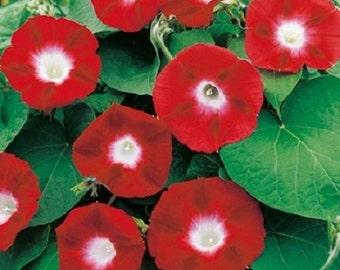 35+ Crimson Rambler Morning Glory Ipomoea / Self -Seeding Annual Flower Seeds