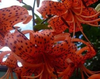 50+ Lilium Turks Cap Lily / Perennial Flower Seeds