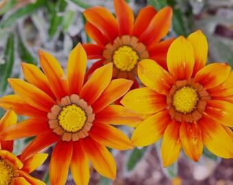 Gazania, red and orange striped flower, garden flowers, annual plants