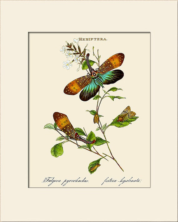 Insects of India, Hempitera, Edward Donovan, Art Print with Mat, Natural History Illustration, Wall Art, Wall Decor, Vintage Insect Print