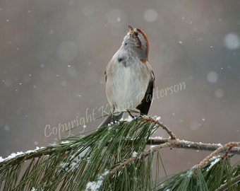 Photo print of chipping sparrow on pine branch during winter snowfall