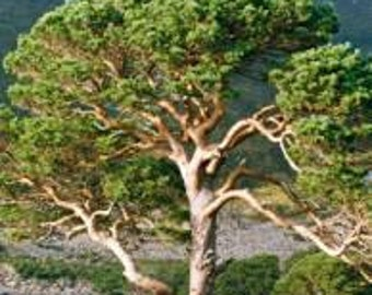 Scot's Pine 10 Seeds - perfect for bonsai lovers. Interesting shape tree