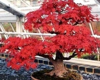 Tatarian Maple 'Flame'(Garden or Bonsai)-10 Fresh Seeds